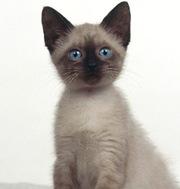 Отдам сиамского котенка.